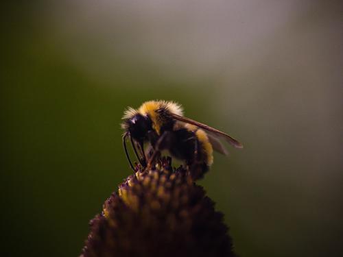 Perchè le api stanno morendo